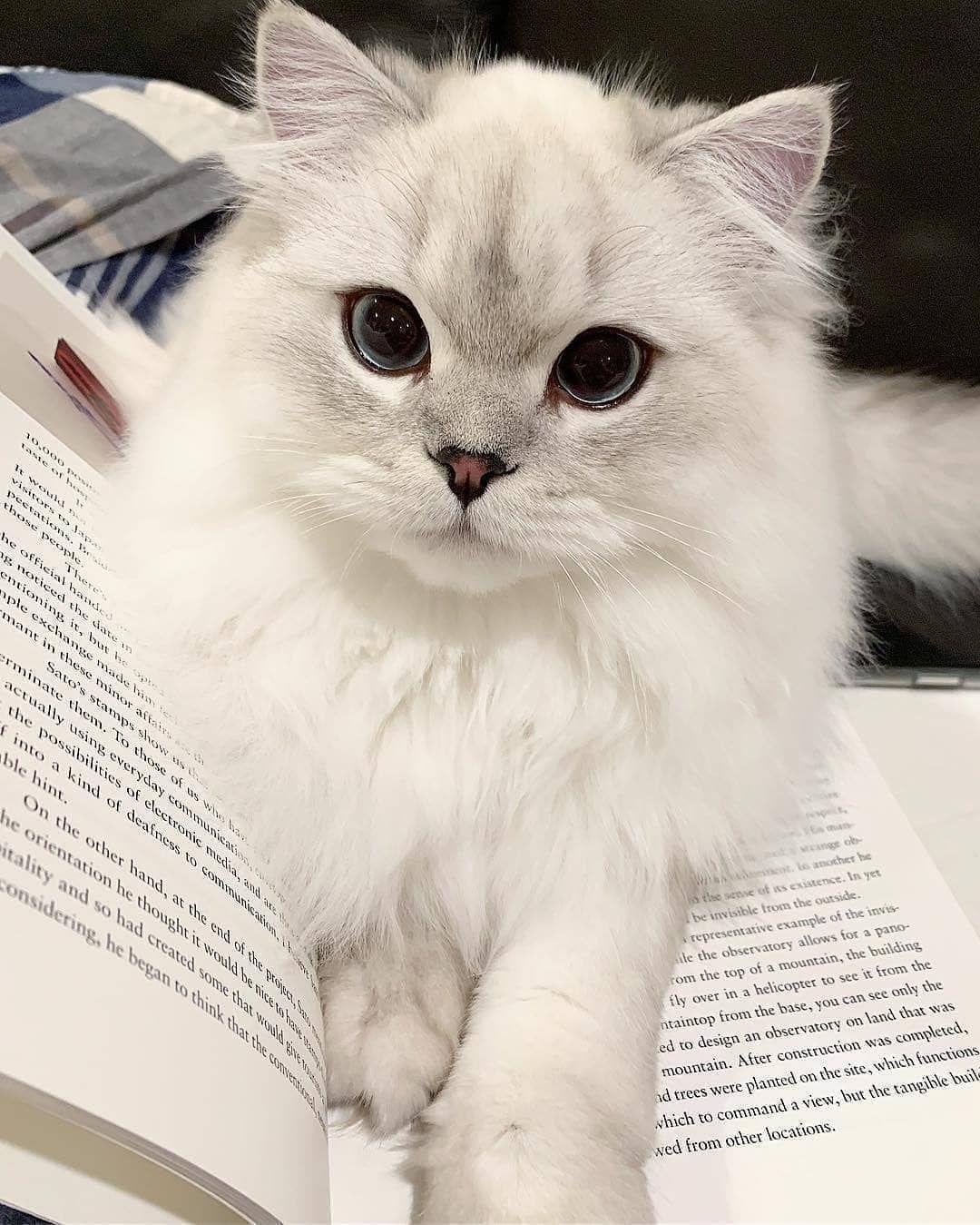 Https Www Facebook Com Catstage2016 Photos A 970303312988831 2420132111339270 Type 3 Theater Kittens Near Me Kittens Cutest Cute Cats