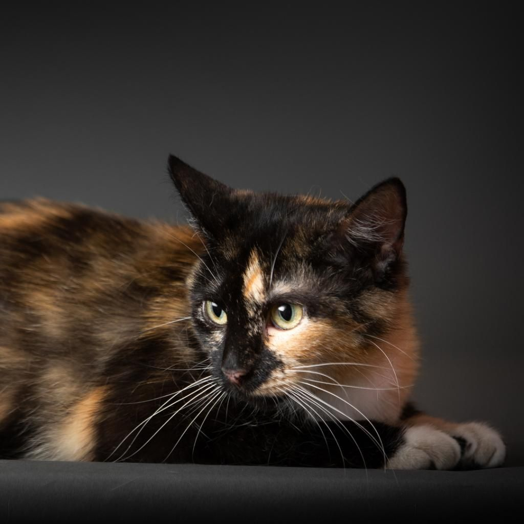 A Picture Of Camille Cat Adoption Cats Cat Rescue