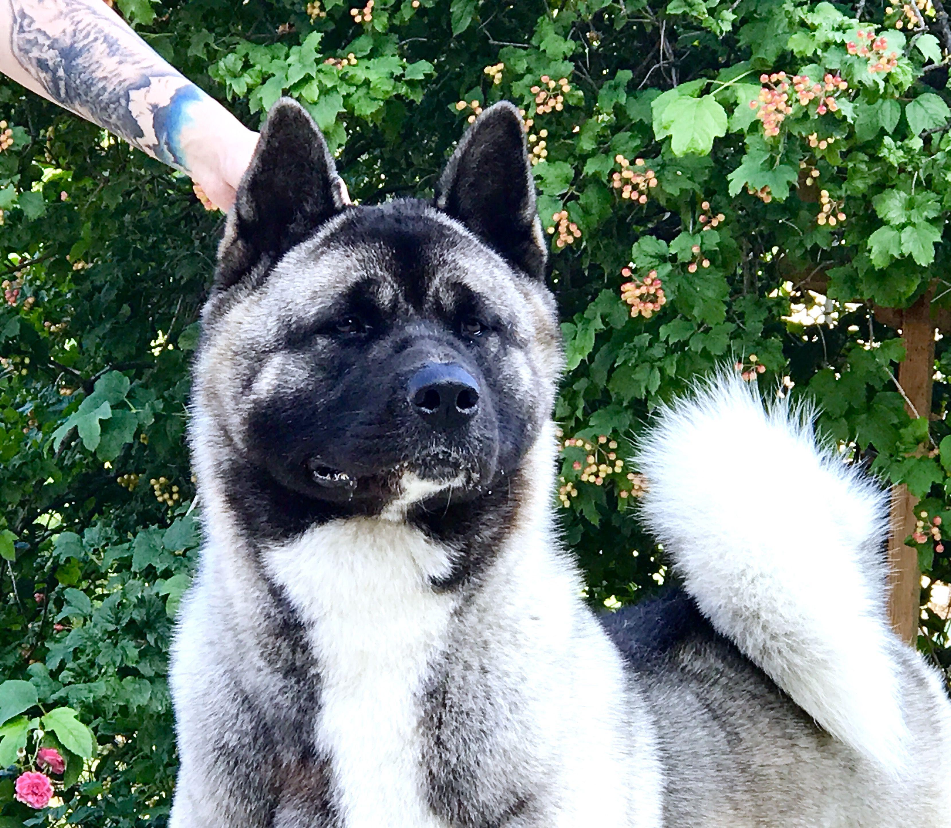 American Akita Siberian Hunter Avrora All For Almighty Kennel American Akita Akita Dog Akita