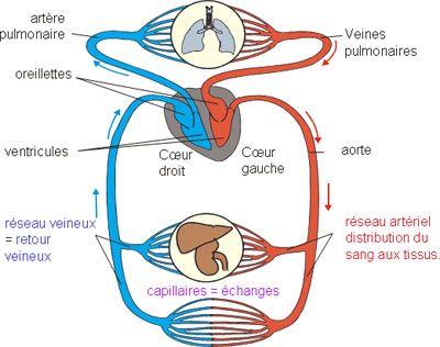 circulation sanguine coeur