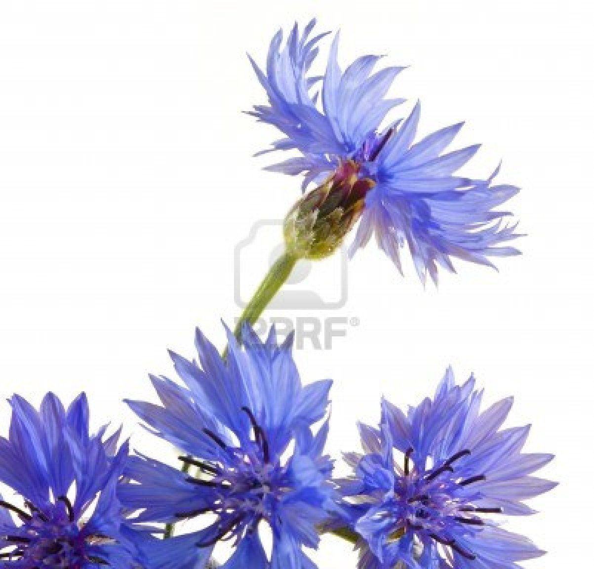 Nice Blue Cornflower Studio Shot Agains White Background Watercolor Flowers Flower Painting Blue Flowers