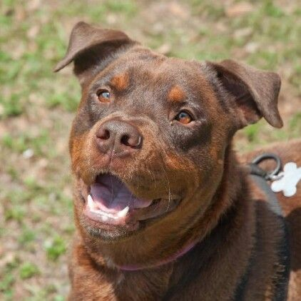 Red Nose Pitbull Puppies For Sale Pitbull Puppies Pitbull