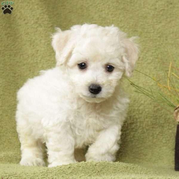 Mo Bichon Frise Puppy For Sale in Pennsylvania Bichon
