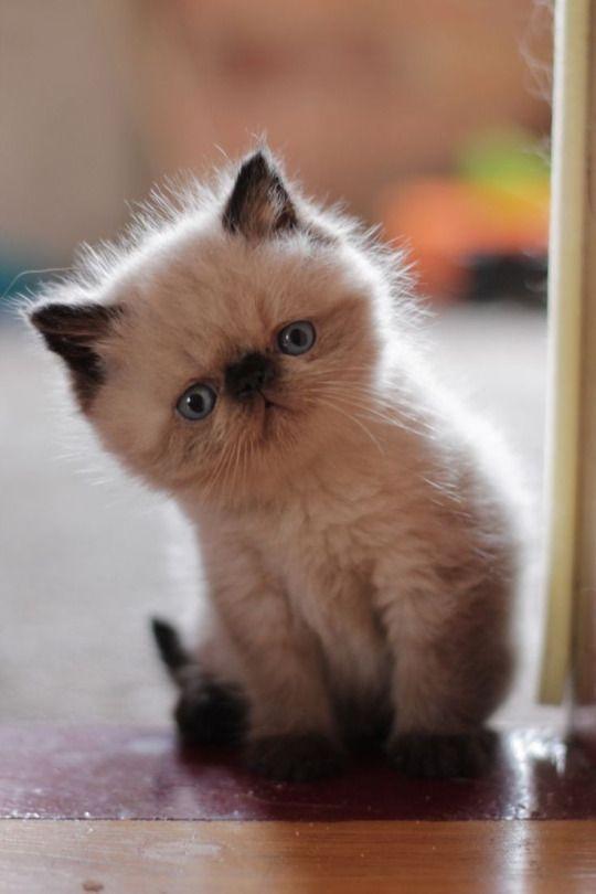 Cat Pug Nosed Adorable Kitten Kittens Cutest Cats Kittens
