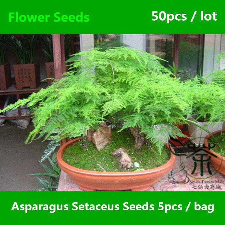 Asparagus Setaceus Seeds 50pcs Asparagus Fern Flower Seeds Lace Fern Wen Zhu Pflanzen Spargel Pflanzen Zimmerpflanzen Ideen