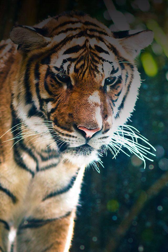 Iphone Lock Screen Wallpaper Tiger