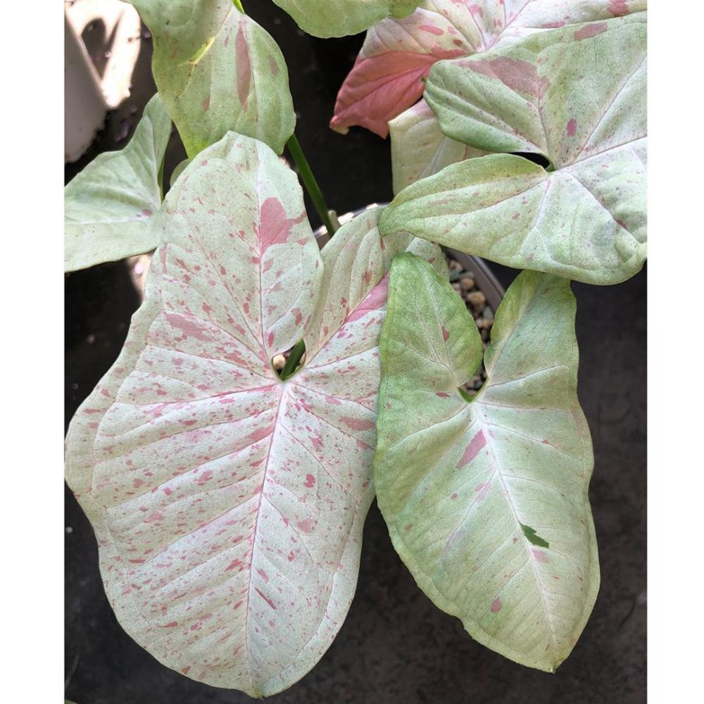 Syngonium Milk Confetti Florida Plants Rare Plants Plant Leaves