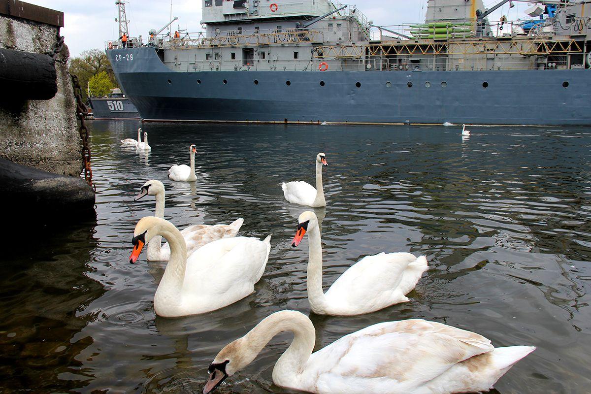 Корабли и лебеди в Балтийске