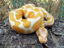 Resultado De Imagem Para Cobras Mais Bonitas Do Mundo Snake Pet