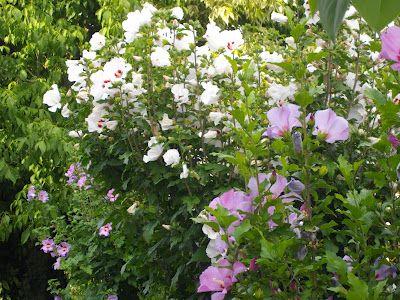 #Gardens #flowers #RoseofSharon    http://soupedupgarden.blogspot.fr/2012/08/how-to-make-fresh-basil-pestoand-tomato.html#