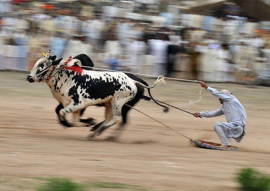 Some sort of bull racing sport