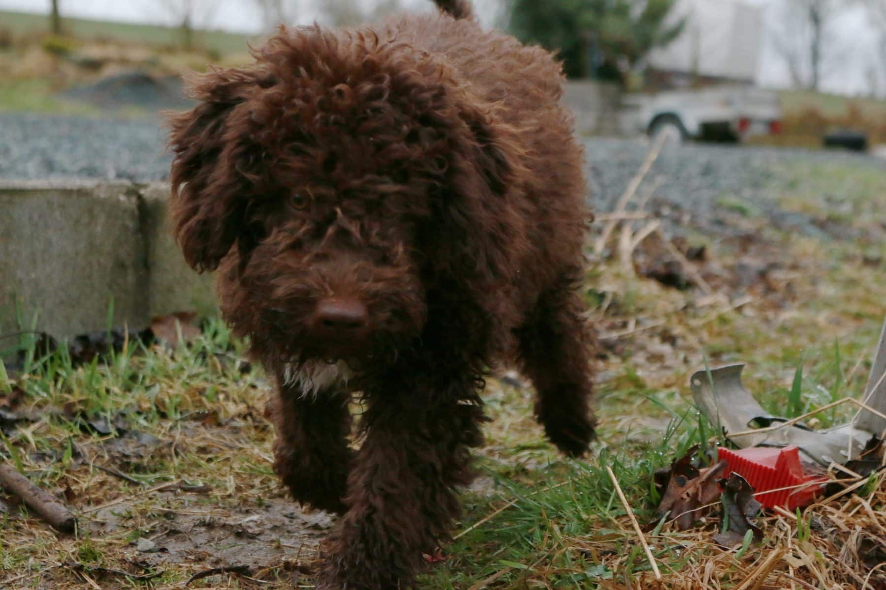 12 Absolutely Adorable Dog Breeds With Curly Hair Cute Dogs Breeds Lagotto Romagnolo Dog Breeds