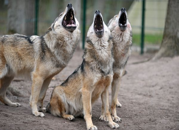Rise Up This Mornin Smiled With The Risin Sun Three Little Wolves Pitch By My Doorstep Singin Sweet Songs Animals Dogs Cute Animals