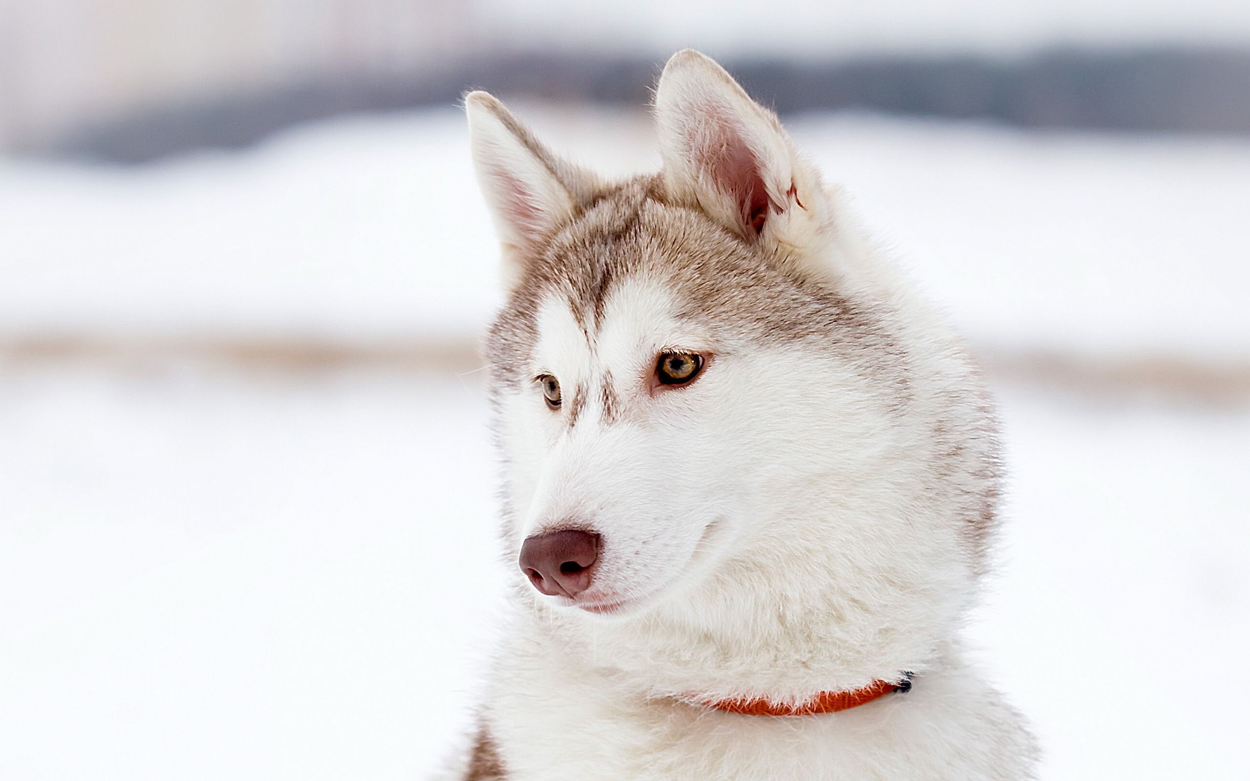 White Husky Wallpaper White Husky Siberian Husky Husky