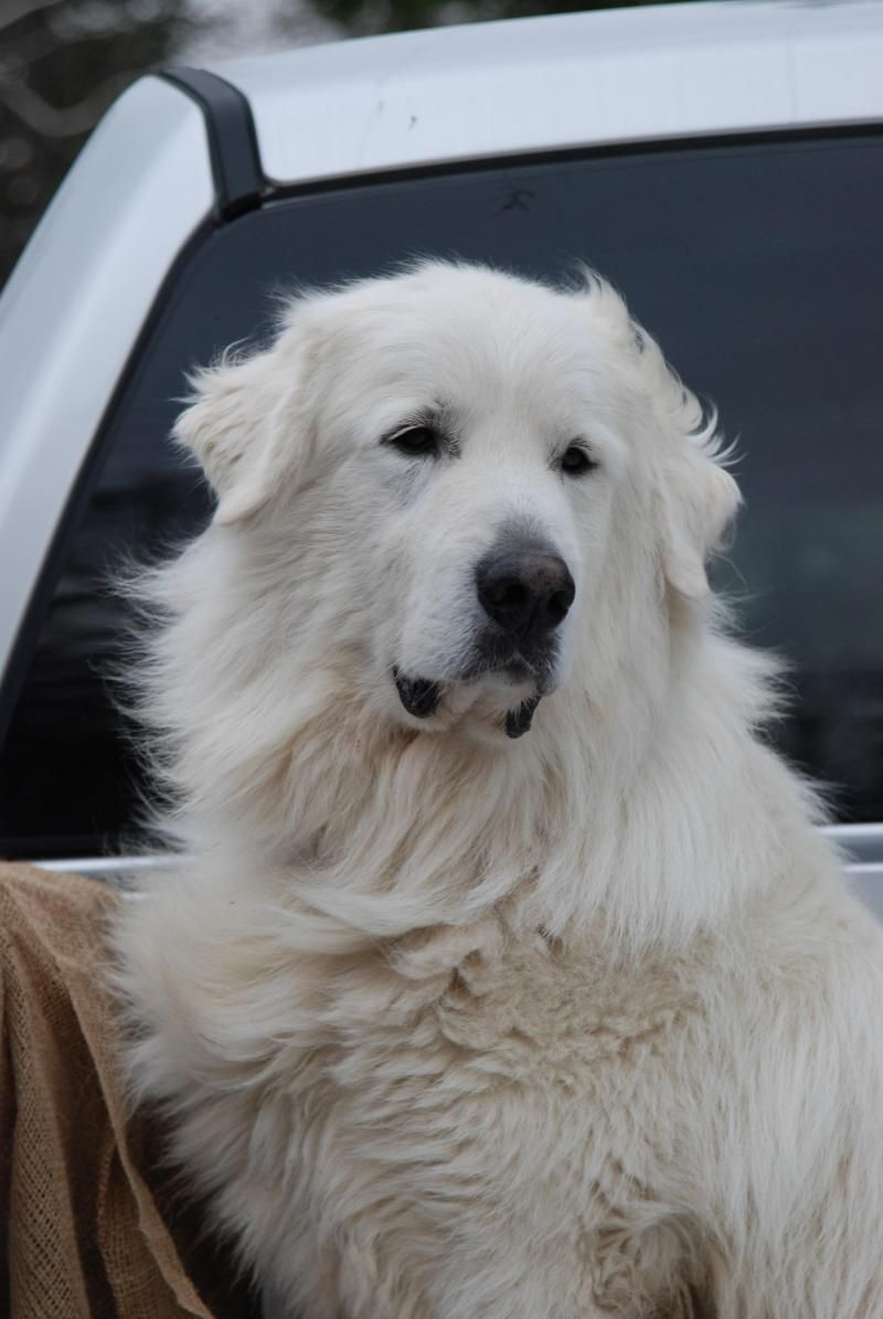 Meet Bud A Petfinder Adoptable Great Pyrenees Dog Carlsbad