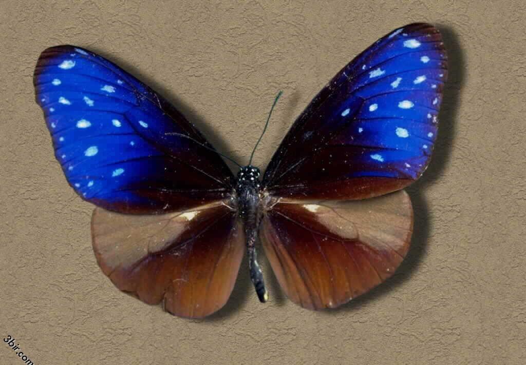 صور فراشات طبيعية رائعه جدا منتديات عبير Insects Moth Animals
