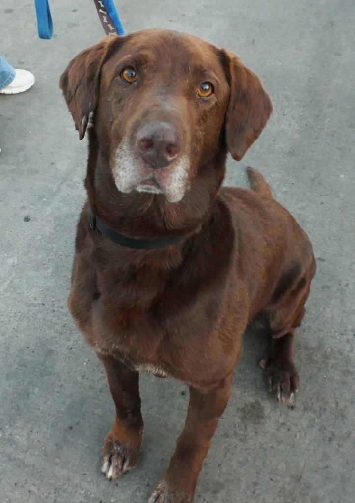 Adopt Roscoe on | Rescue Dog! | Labrador retriever dog, Dogs