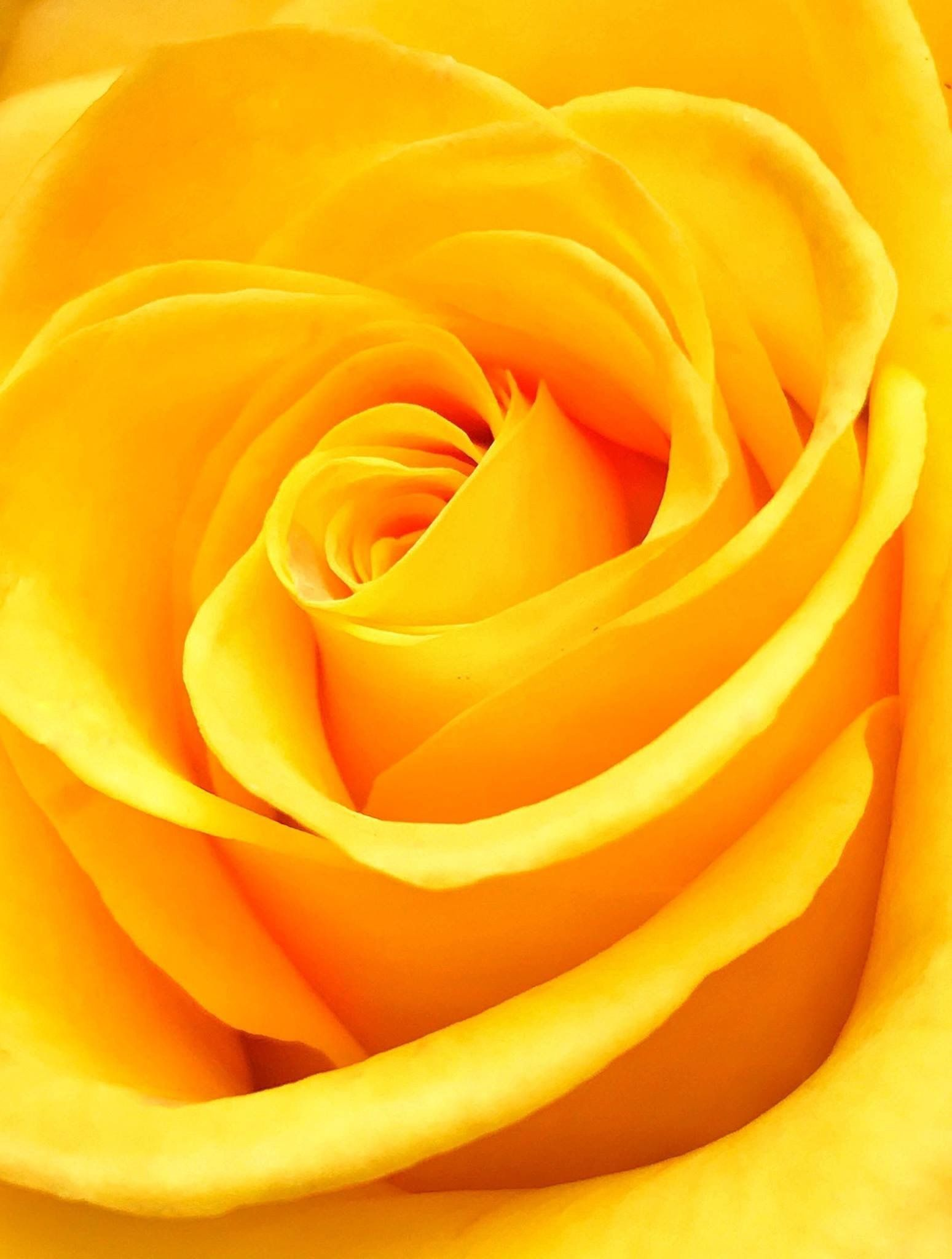 Fresh Yellow Rose Wallpaper for Mobile ...