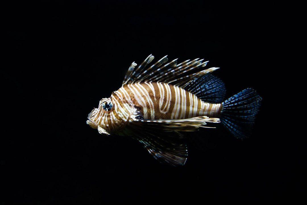 Keeping Bees One Clue Crossword Lion Fish Ocean Animals Aquarium Fish