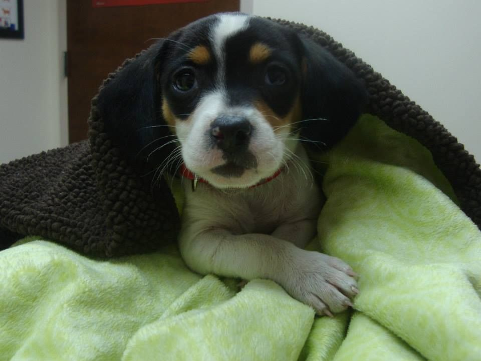 Cc Is A 6 Week Old Beagle Mix Beagle Mix Cute Puppies Kittens