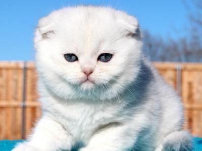 Pin On Scottish Fold Kitten