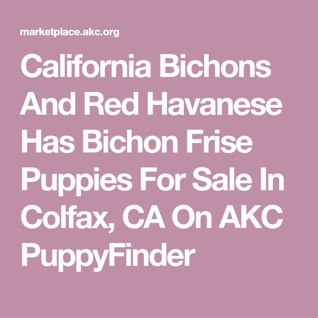 California Bichons And Red Havanese Has Bichon Frise Puppies