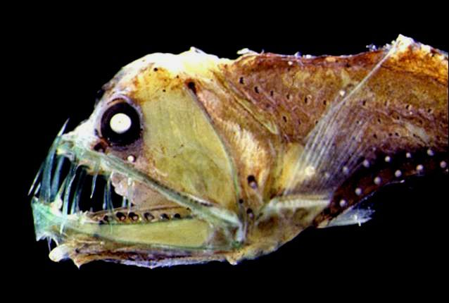 16 Ocean Creatures That Live In Total Darkness Ocean Creatures Deep Sea Life Deep Sea Creatures