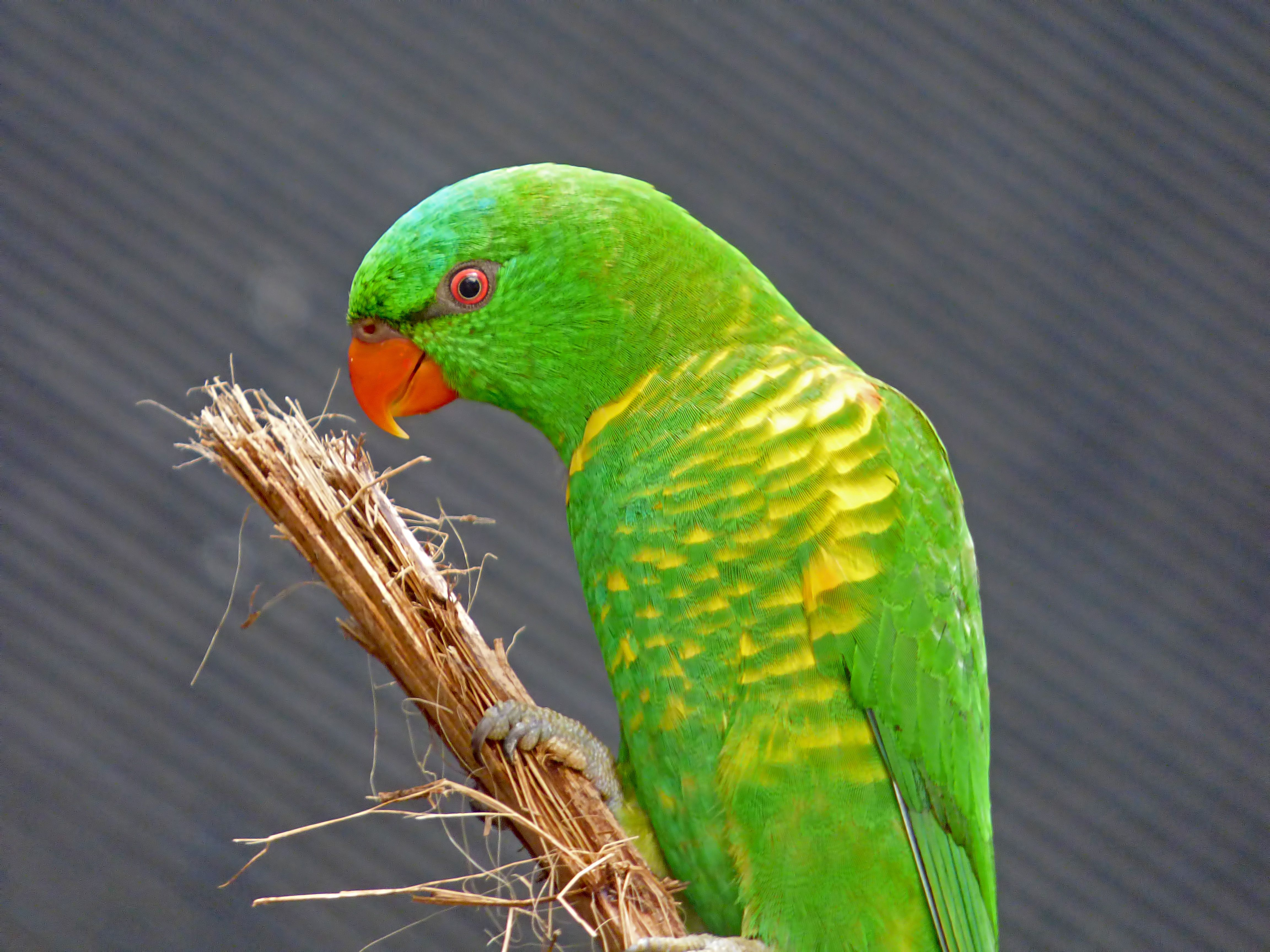 Scaly Breasted Lorikeet Qld Australian Parrots Small Insects Parrot