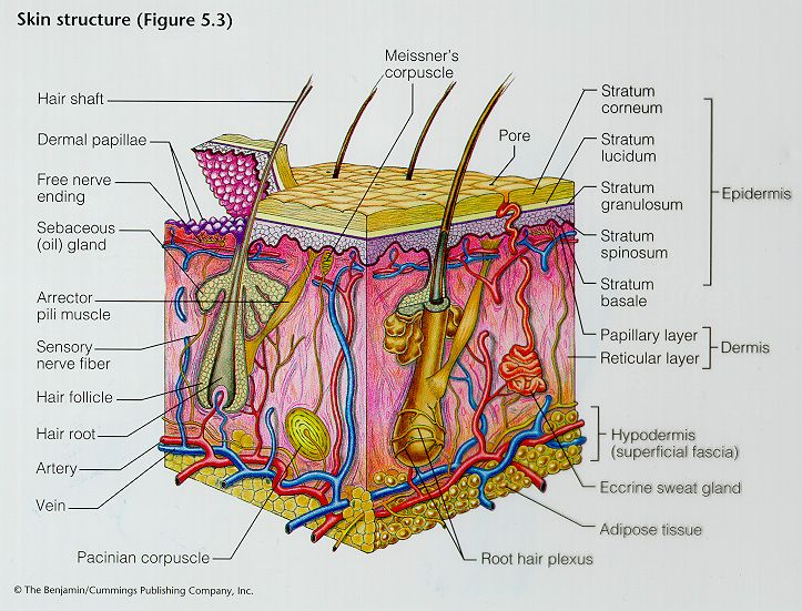 anatomy of skin   Skin structure   Education   Pinterest   Skin ...