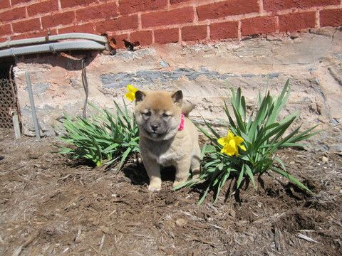 Litter of 4 Shiba Inu puppies for sale in LEOLA, PA. ADN