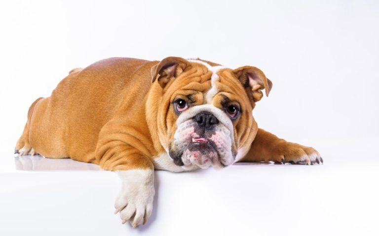 Bulldog Wallpaper Hd Hd Wallpapers 1080p Download Full Hd Wallpaper Download Www Free Hd Wallpaper Down Bulldog Wallpaper Dog Wallpaper Iphone Dog Wallpaper Dog photos hd wallpaper download