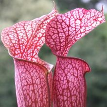 Source for pitcher plant - many different colors and patterns (some bl and wh) -  Plant Delights Website