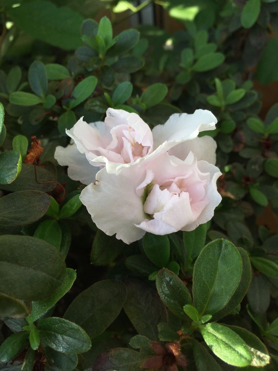 White azalea starting to bloom always later then the pink