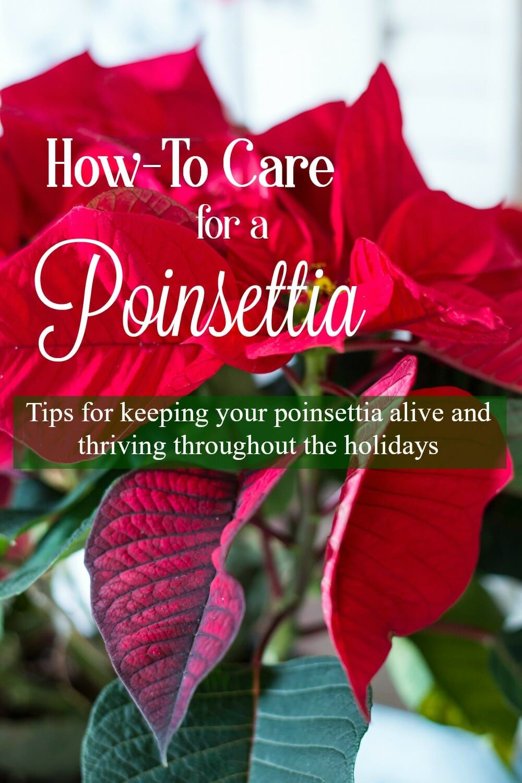 How To Care For A Poinsettia Plus Free Printable Poinsettia Care