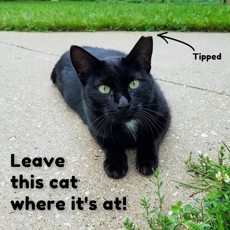 """Good info from My Feral Fix A cat with a """"tipped"""" left"""