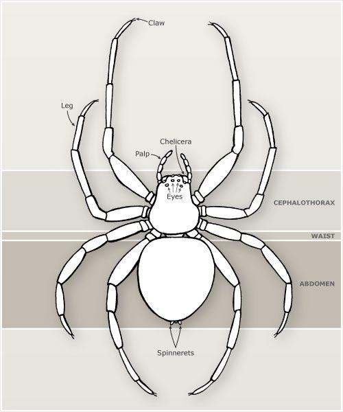 Arachnid Unit Study Spider Body Par...