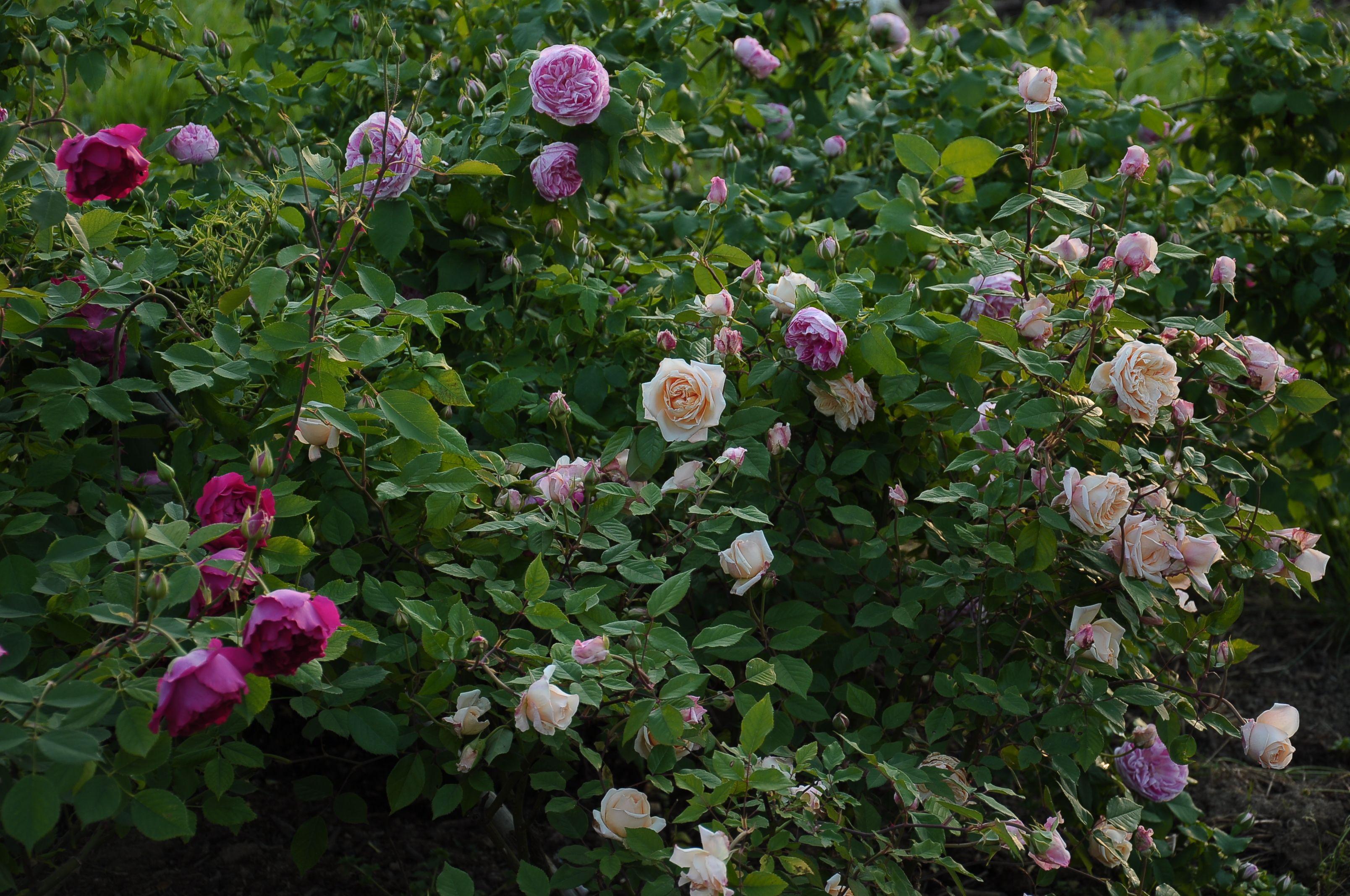 misto con franziska kruger fiori e rose mie foto