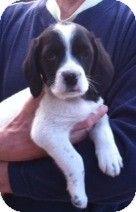 Doylestown Pa Springer Spaniel Beagle Mix Meet The Lovely L