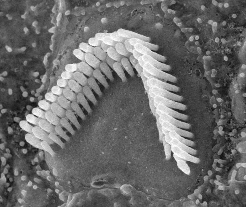 Cochlear Hair Cells I Will Draw You Inner Space