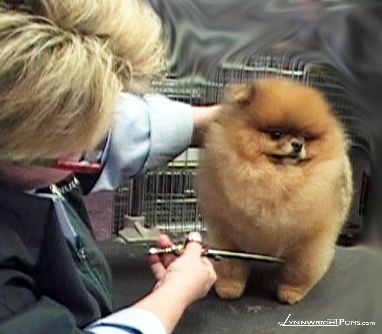 Pin on Lynnwright Pomeranians