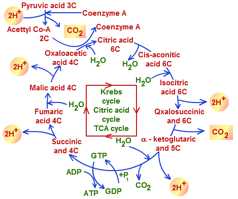 Image result for cellular respiration nutrients""