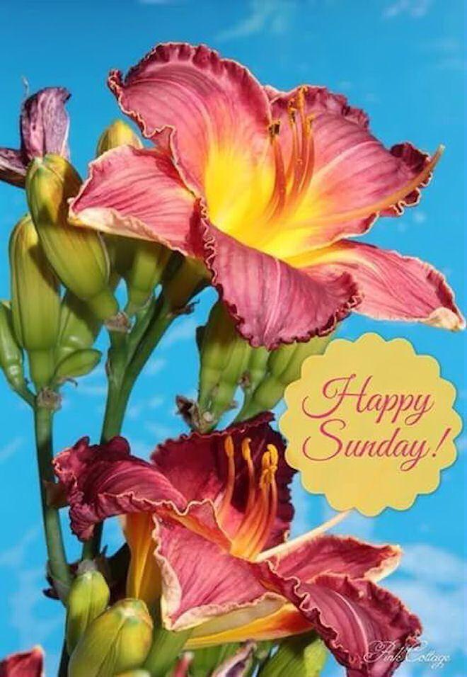 Beautiful Happy Sunday Flowers Sunday Sunday Quotes Happy Sunday