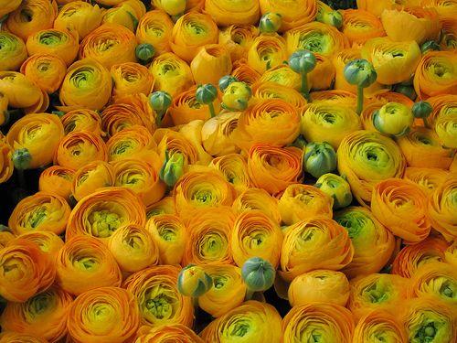 ranuncoli gialli 黄色のキンポウゲ