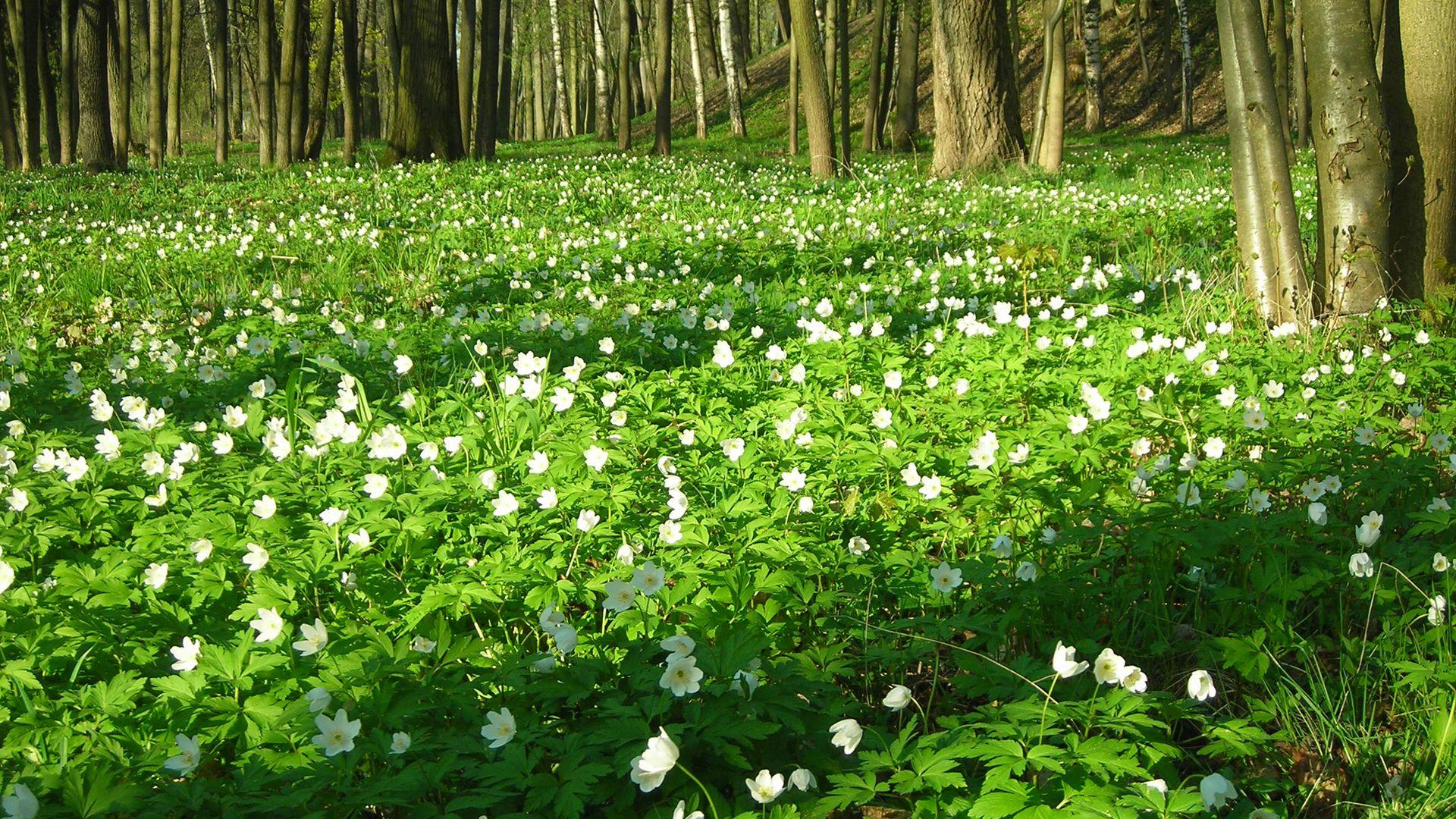 Весенний лес | Зеленая природа, Дикие цветы, Природа
