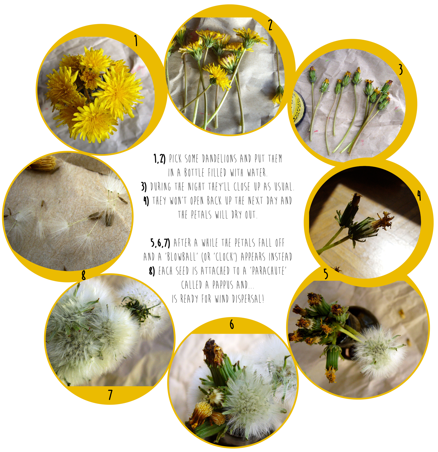 Life Cycle Of A Dandelion Worksheet