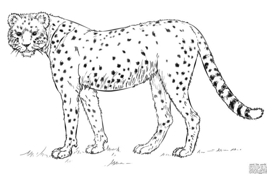 How to draw a cheetah | Step by step Drawing tutorials ...