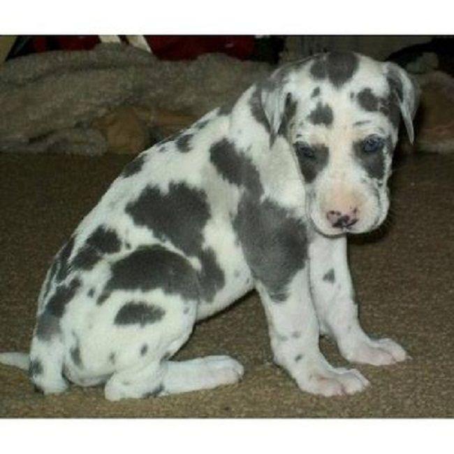 Great Dane Puppies For Sale In Kentucky Zoe Fans Blog Dane