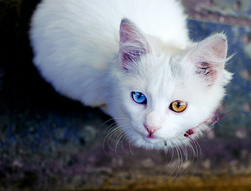 Gallery For Gt Pictures Of Orange Cats With Blue Eyes Cat With