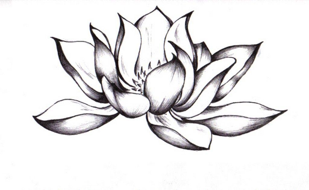 Lotus zeichnung bilder lotus zeichnung bild und foto blumen bilder