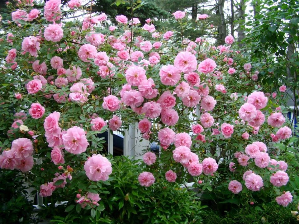 Love Garden Roses: Favorite Garden Plants